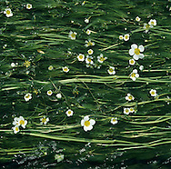RIVER WATER-CROWFOOT Ranunculus fluitans (Ranunculaceae) Floating. Robust perennial. Forms extensive carpets in suitable fast-flowing streams and rivers. FLOWERS are 20-30mm across with 5 white and overlapping petals (May-Aug). FRUITS are borne in rounded heads. LEAVES are divided into narrow, thread-like segments; submerged leaves only. STATUS-Widespread in England but scarce elsewhere.