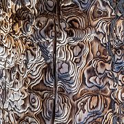 Abstract patterns of tree bark in the Teton backcountry near Jackson, Wyoming.