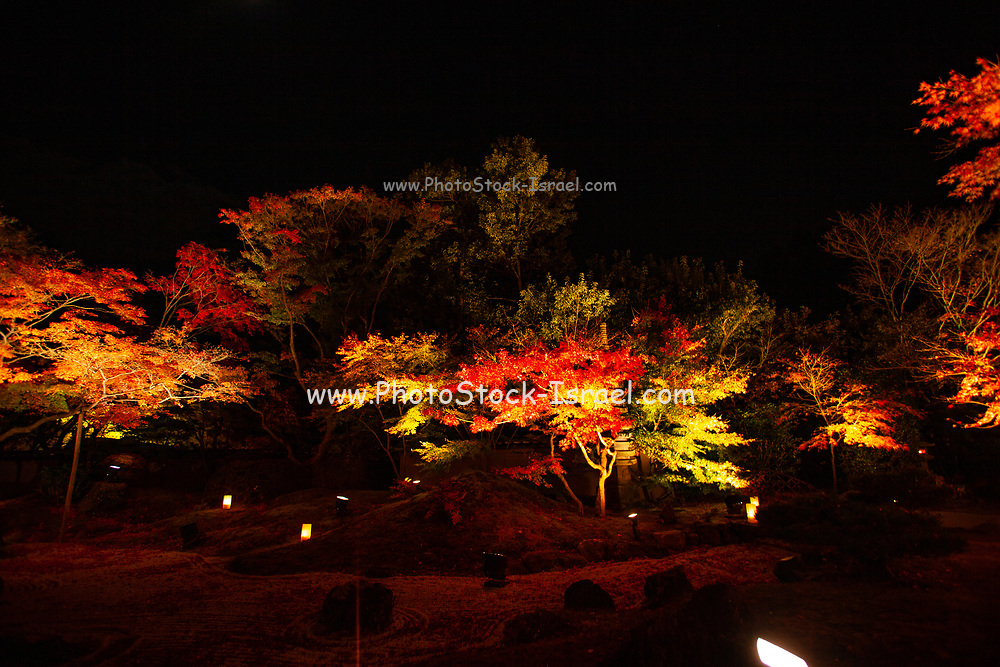 Kōyō (Koyo - Autumn Foliage) As autumn descends, it turns Japan's forests radiant shades of red, orange, and yellow. Illuminated trees at night Photographed in Kyoto, Japan in November