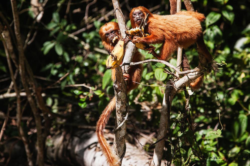 Two endangered golden lion tamarins (Leontopithecus rosalia)feasting on bananas, Brasil, South America