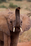 Young elephant sniffinf for danger