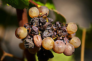 semillon grapes with noble rot chateau guiraud sauternes bordeaux france