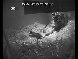 © Licensed to London News Pictures. 15/10/2013. London, UK London Zoo's newborn Sumatran tiger cub has drowned. FILE PICTURE The birth of ZSL London Zoo's first tiger cub for 17 years has been captured on hidden cameras by zookeepers at ZSL London Zoo. After a pregnancy lasting approximately 105 days and a six-minute labour, five-year-old Sumatran tiger Melati gave birth to a single cub at 9:22pm on Sunday 22 September.The top-secret pregnancy was kept under wraps by zookeepers, so that they could keep a careful eye on the first-time mum through hidden cameras  installed to keep watch on Melati without disturbing her.. Photo credit : ZSL/LNP