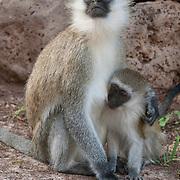 Vervet Monkey (Cercopithecus aethiops) in Amboseli National Park, Kenya, Africa.