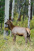 Calf elk during the autumn rut in an aspen stand