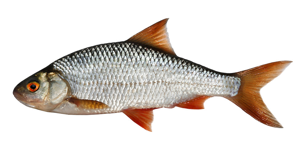 Roach Rutilus rutilus Length 10-25cm<br /> The Roach is a familiar deep-bodied fish. Adult has a mainly silvery body, that is palest below, red pelvic and anal fins, and reddish brown dorsal, pectoral and tail fins. The dorsal fin is sited above the pelvic fins (cf Rudd). The Roach is common and widespread in England but less so in Wales and Scotland; it is rare in Ireland where, confusingly, the more common Rudd is sometimes called 'Roach'.
