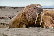 Atlantic walrus (Odobenus rosmarus rosmarus). This large, gregarious relative of the seal has tusks that can reach a metre in length. Both the male (bulls) and female (cows) have tusks; the bulls use them in displays and fights when competing for dominance and access to cows. Both males and females use tusks to haul themselves onto ice or to create breathing holes. The walrus has inflatable pockets on either side of its oesophagus which it can fill with up to 50 litres of air for buoyancy. It dives to the ocean floor to feed on mussels, crabs, snails and starfish. The Atlantic walrus is found in two separate areas to the east and west of Greenland. Photographed in Spitsbergen, Svalbard, Norway