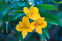 FLORES DE AMANCAY (Alstroemeria aurea) EN EL BOSQUE, PATAGONIA, ARGENTINA (PHOTO BY © MARCO GUOLI - ALL RIGHTS RESERVED. CONTACT THE AUTHOR FOR IMAGE REPRODUCTION)