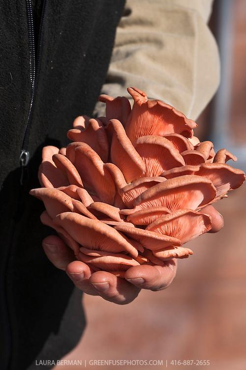 Pink Oyster Mushrooms (Pleurotus ostreatus)