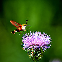 Hummingbird Clearwing moth (Hemaris thysbe) feeding on a Thistle flower.. Image taken with a Nikon D4 camera and 70-300 mm VR lens (ISO 200, 300 mm, f/5.6, 1/640 sec)