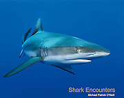 Full of spectacular underwater photographs and engaging, informative text, Shark <br /> Encounters introduces readers to the supreme predators that rule the world's oceans.<br /> <br /> Learn how divers come face-to-face with the infamous Bull shark and where Scalloped<br /> Hammerheads school by the thousands.  Admire the majesty of the Silvertip and the<br /> hunting tactics of the nocturnal Whitetip.  Inside you will find this and a lot more!<br /> <br /> Shark Encounters is designed to encourage learning, conservation and an in-depth <br /> appreciation for the natural world.<br /> <br /> IBSN 978-0-9728653-4-0<br /> 8.5 x 11 inches (landscape)<br /> Hardcover with dust jacket; 48 pages<br /> $19.95<br /> Ages 6 and up