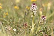 Burnt orchid (Neotinea ustulata). East Sussex, UK.
