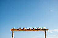 Eight gulls are perched on a beam at the beach in the popular tourist destination of Playa del Carmen, Mexico