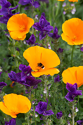 Bee on Eschscholzia californica 'Orange King' (California poppy) with Salvia viridis 'Blue'