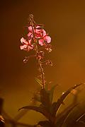 Fireweed (Chamaenerion angustifolium ) bathes in the summer light.  Alaska, USA