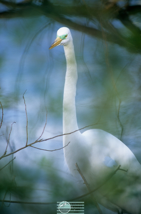 The Great Egret and the smaller Snowy Egret of the Texas Gulf Coast are photographed in thier natural enviroment and feeding areas. The Great Egret and the smaller Snowy Egret of the Texas Gulf Coast are photographed in thier natural enviroment and feeding areas.