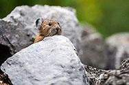 A pika plying hide and go seek in an Idaho talus in the Snake River Range.