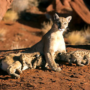 Mountain Lion or Cougar, (Felis concolor) Female with newborn cubs in southern Utah.  Red rock country. Captive Animal.
