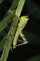 Grasshopper, Java, Indonesia