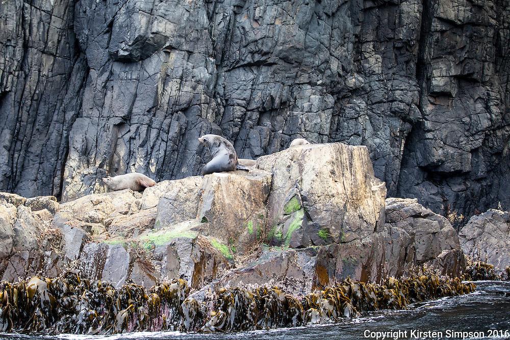 Fur Seals at The Friars