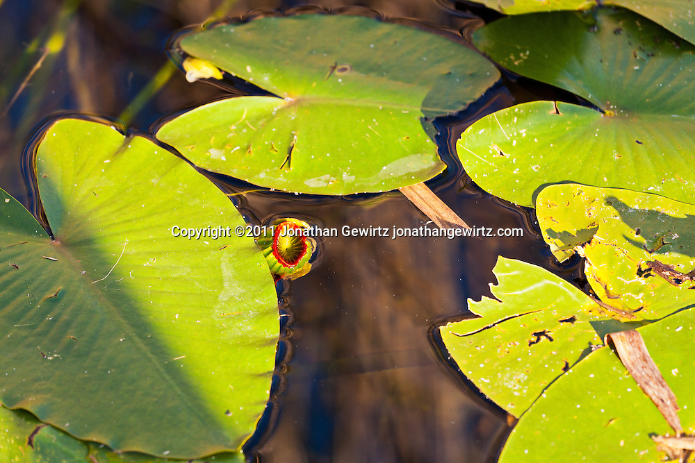 Lily pads in the canal next to Anhinga Trail in Evergaldes National Park. WATERMARKS WILL NOT APPEAR ON PRINTS OR LICENSED IMAGES.