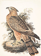 The crested honey buzzard (Pernis ptilorhynchus) is a bird of prey in the family Accipitridae, which also includes many other diurnal raptors such as kites, eagles, and harriers. This species is also known as the Oriental honey buzzard. 18th century watercolor painting by Elizabeth Gwillim. Lady Elizabeth Symonds Gwillim (21 April 1763 – 21 December 1807) was an artist married to Sir Henry Gwillim, Puisne Judge at the Madras high court until 1808. Lady Gwillim painted a series of about 200 watercolours of Indian birds. Produced about 20 years before John James Audubon, her work has been acclaimed for its accuracy and natural postures as they were drawn from observations of the birds in life. She also painted fishes and flowers.