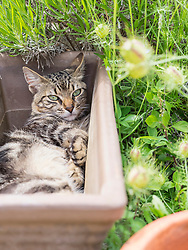 Domestic cat resting in an empty plant pot, Getxo, Algorta, Basque Country, Spain, Europe