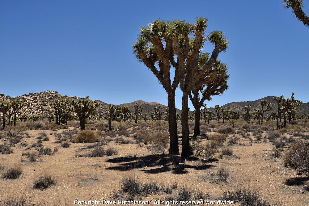 Joshua Tree National Park in the southern California Mojave Desert near Joshua Tree, San Bernadino County, California.