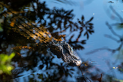 Partially submerged American Alligator at Huntington Beach State Park, South Carolina. Image taken by Ed Aldridge with a NIKON Z 6_2 and 300mm f/2.8D at 300mm, ISO 560, f5.6, 1/60.
