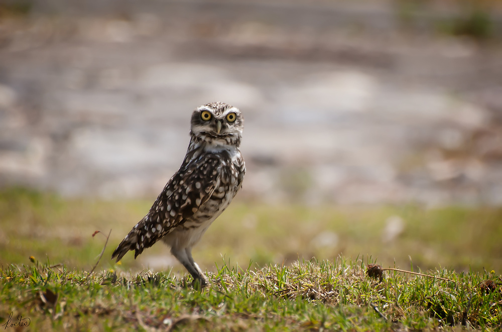 A ground owl guarding its den with a watchful eye.