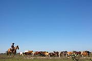 Brazilian male Gaucho cowboy rounding up cattle on a horse, in a field, pasture, blue sky. Working Gaucho Fazenda farm in Rio Grande do Sul, Brazil.