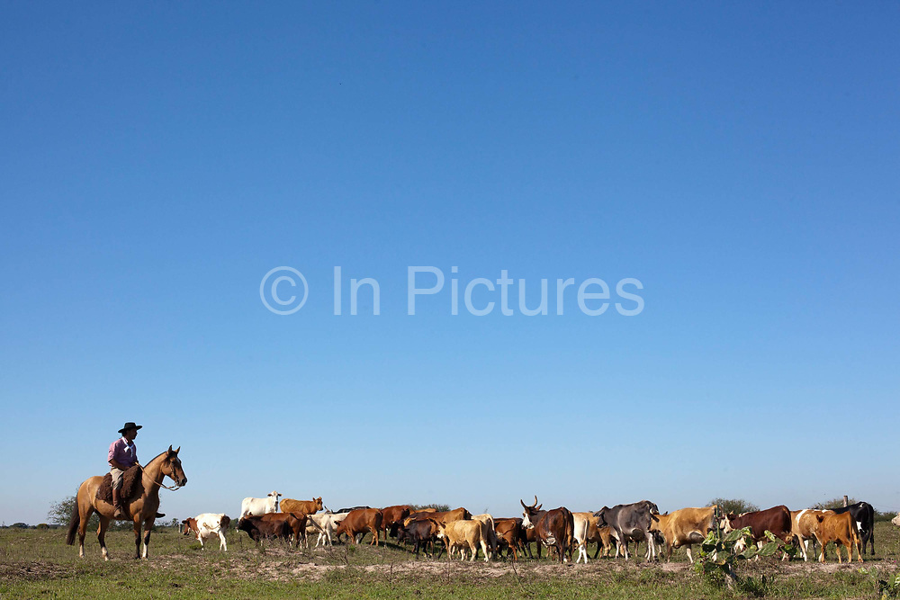 Brazilian male Gaucho cowboy rounding up cattle on a horse, in a field, pasture, blue sky. Working Gaucho Fazenda farm in Rio Grande do Sul, Brazil.