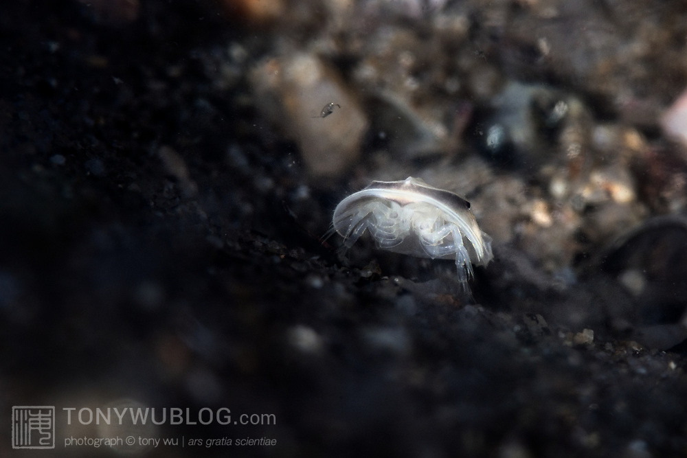 This is a juvenile Japanese horseshoe crab (Tachypleus tridentatus) climbing up and out of the substrate where it had just hatched with dozens of siblings. When spawning takes place, eggs are deposited, fertilized and buried. Upon hatching, the young horseshoe crabs need to burrow up through 10-20cm of sand, mud and muck.