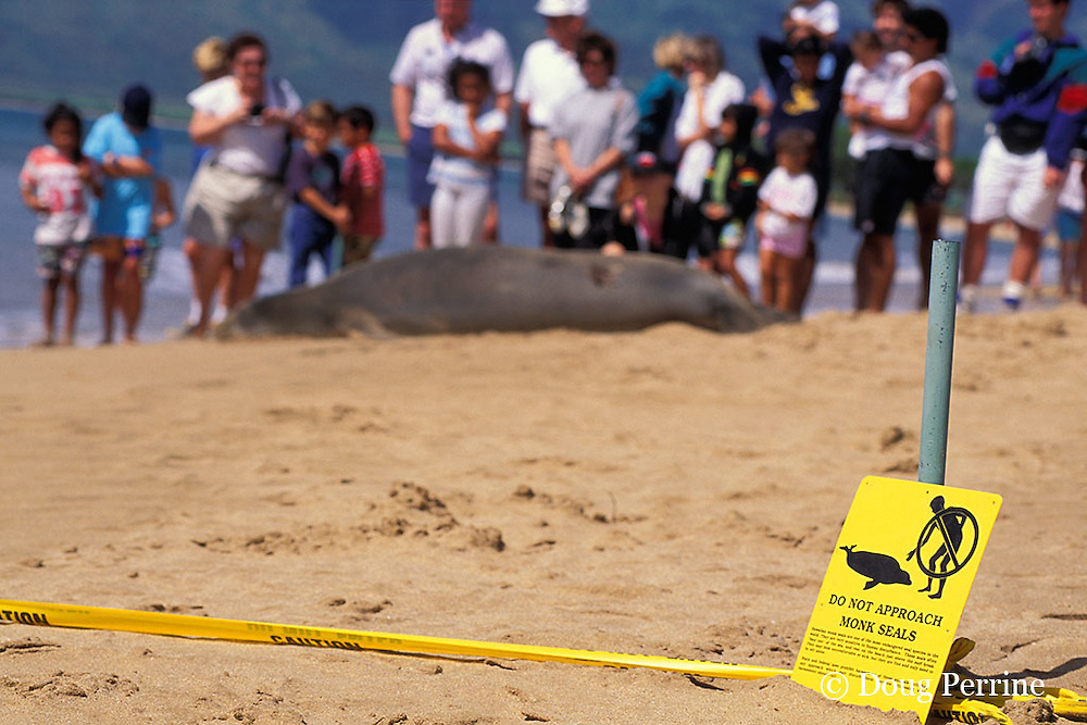 Critically Endangered Hawaiian monk seal, Monachus schauinslandi, resting on beach as spectators look on, Kihei, Maui, Hawaii ( Central Pacific Ocean )