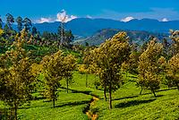 Tea plantation, Nanu Oya, near Nuwara Eliya, Central Province, Sri Lanka.