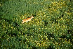 GERMANY SCHLESWIG-HOLSTEIN KIEL 9JUN02 - A deer cow seen during landing from our hot-air balloon...jre/Photo by Jiri Rezac..© Jiri Rezac 2002..Contact: +44 (0) 7050 110 417..Mobile:  +44 (0) 7801 337 683.Office:  +44 (0) 20 8968 9635..Email:   jiri@jirirezac.com.Web:     www.jirirezac.com