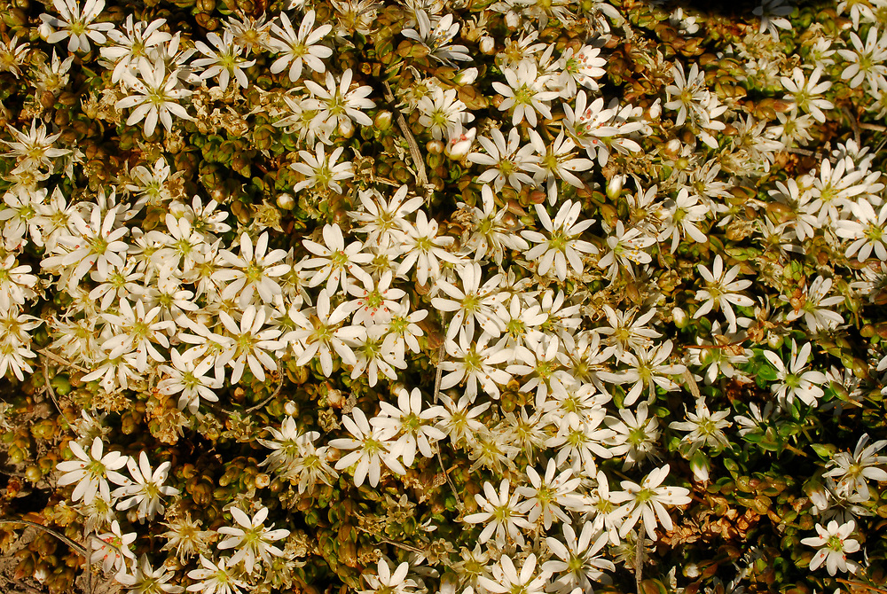 Alaska, Barrow. Wildflowers.