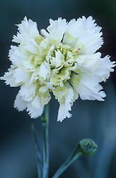 Dianthus 'Miss Sinkins'- Carnation, Pink