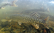 Group of Northern Pike<br /> <br /> Paul Vecsei/Engbretson Underwater Photography