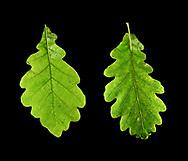 Hybrid Oak - Quercus x rosacea<br /> = Quercus robur x Quercus petraea