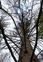 06.06.2016 Bialowieza woj podlaskie Spotkanie lesnikow , naukowcow , organizacji pozarzadowych oraz przedstawicieli mieszkancow z ekspertami IUCN - Miedzynarodowej Unii Ochrony Przyrody . Eksperci IUCN wybrali sie do Puszczy Bialowieskiej , aby sprawdzic , jak wyglada sytuacja z masowymi wycinkami , ktore maja byc prowadzone w ramach walki z gradacja kornika drukarza . Kontrola bedzie przeprowadzona na zlecenie UNESCO N/z uschniete swierki fot Michal Kosc / AGENCJA WSCHOD