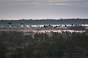 Flock of common cranes (Grus grus) flying over fog covered raised bog, Kemeri National Park (Ķemeru Nacionālais parks), Latvia Ⓒ Davis Ulands | davisulands.com