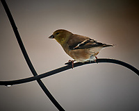 American Goldfinch. Image taken with a Nikon D5 camera and 600 mm f/4 VR lens (ISO 110, 600 mm, f/4, 1/640 sec).
