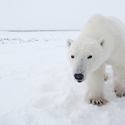 Polar bear (Ursus maritimus) near Cape Churchill, Manitoba, Canada.