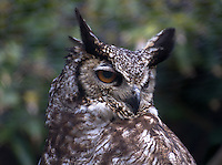 Focus side great horned owl