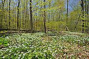Great white trilliums (Trillium grandiflorum) in Carolinian forest<br /> Sparta<br /> Ontario<br /> Canada