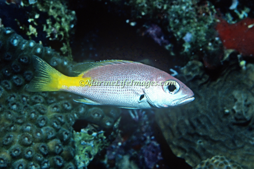 Blackfin Snapper, juvenile, inhabit areas of sand, rubble and rocky outcroppings near reefs from 20-60 feet in  Tropical West Atlantic; picture taken Grand Cayman.