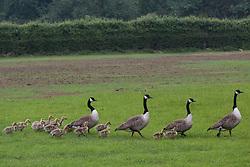 Windsor, UK. 29th May, 2018. Broods of Canada Geese (Branta canadensis) goslings in Windsor Great Park.