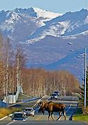 Bull moose(Alces alces) crossing Raspberry Road, near Kincaid Park, Anchorage.