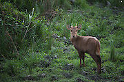 Indian Hog Deer (Hyelaphus porcinus)<br /> Kaziranga National Park<br /> Assam<br /> North East India<br /> UNESCO World Heritage Site<br /> ENDANGERED